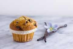 Muffin and vanilla pods. Beautiful vanilla chocolate chip muffin on marble surface with two vanilla pods Stock Images