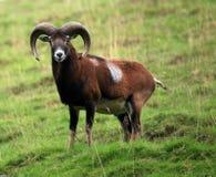 mufflon Стоковая Фотография