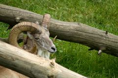Mufflon achter boomboom Royalty-vrije Stock Foto
