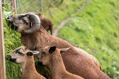 Mufflon die gras eet stock afbeeldingen