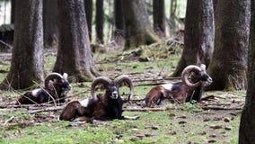 Mufflon, Mouflon, orientalis барана Стоковые Изображения RF