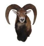 Mufflon, Ovis-orientalis Stock Foto's