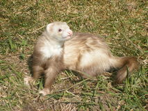Muffy. My ferret Muffy enjoying a beautiful day outside.  She loves to be my model and pose for pictures- especially when her hair blows gently in the wind Royalty Free Stock Photo