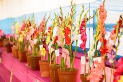 Muflier de Corydalis et affichage de fleur de glycine à vendre dans un pot de fleur en horticulture juste dans le kolkata le Beng images libres de droits