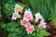 Muflier ou muflier blanc Fermez-vous vers le haut de la fleur instantanée de dragon dans le jardin en tant que le fond ou carte c Photo stock