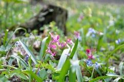 Mufliers dans une clairière de forêt Photo stock