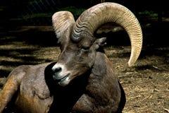 muflon овечки Стоковое фото RF