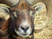 muflon стоковое изображение rf