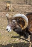 Muflon Male Park Nature Stock Photos