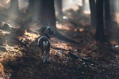 Muflon pozycja na skłonie w mglistym jesień lesie Obrazy Stock