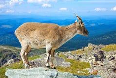 Muflon on rock at wildness Stock Photo