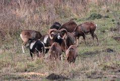 Muflon samiec stojaka whit jego grupa kobieta Fotografia Royalty Free