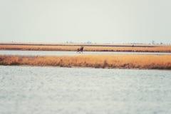 Muflon w dzikiej naturze, piękny stepu krajobraz z dwa zwierząt Ovis Orientalis zdjęcia royalty free