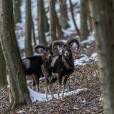 Muflone maschio in foresta nell'inverno Immagine Stock