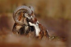 Muflone, orientalis del Ovis, animale cornuto nell'habitat della natura, ritratto della foresta del mammifero con il grande corno Immagini Stock