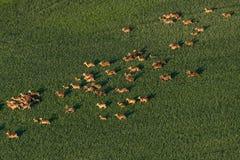 Mufloni sul pascolo Fotografia Stock