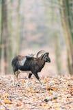 Muflonu baran w jesień lesie Zdjęcie Stock