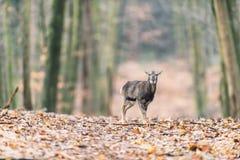 Muflonu młody trwanie w jesień lesie samotnie Fotografia Stock