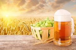 Mug of beer against wheat field. Glass mug of beer with foam, fresh green hops in basket, ears of barley on table against golden field on sunset. Light beer with stock photos