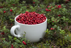 Mug full of Ripe Cowberries Royalty Free Stock Photography