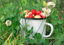 Mug full of wild strawberries in the grass. Vintage enamel mug full of red and white wild strawberries in the grass Stock Photography