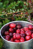 Mug with just picked fresh cranberries in  swamp Royalty Free Stock Photography