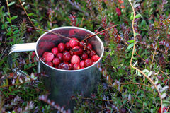 Mug with just picked fresh cranberries in  swamp Stock Photography