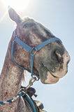 Mug shot of a horse. Funny low angle mug shot of a riding horse in bright over head sunlight Royalty Free Stock Images