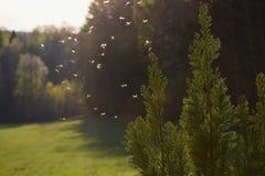 Muggen die in zonsonderganglicht vliegen stock foto