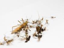 Muggen en andere schadelijke insecten die van dood de een rommel maken, elimineren, Royalty-vrije Stock Afbeelding