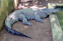 Mugger κροκόδειλος (palustris Crocodylus) Στοκ Φωτογραφία