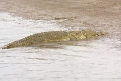 Mugger Crocidile on a River Bank Stock Image