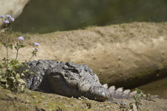 Mugger Crocodile in Bardia, Nepal Royalty Free Stock Photo
