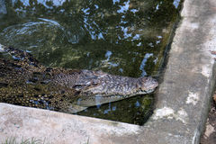 Mugger Crocodile (Crocodylus palustris) Stock Image