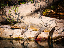 Mugger crocodile Royalty Free Stock Photos