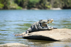 Mugger Crocodile Royalty Free Stock Images