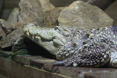 Mugger crocodile Stock Photo