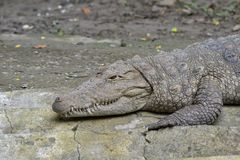 Mugger Crocodile/Marsh Crocodile(Crocodylus palustris) basking Royalty Free Stock Photos