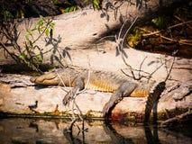 Mugger krokodil royalty-vrije stock foto's