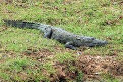 Mugger Krokodil Royalty-vrije Stock Foto