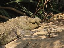 Mugger Krokodil het lazing in de zon - sluit omhoog royalty-vrije stock afbeeldingen