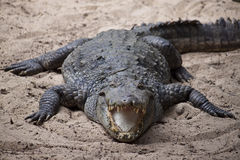 Mugger or Marsh Crocodile Royalty Free Stock Photos