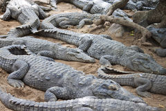 Mugger or Marsh Crocodile Stock Photos