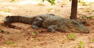 Mugger or marsh crocodile. In crocodile bank -chennai,tamilnadu, india Stock Images