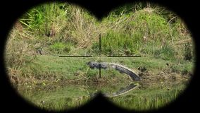 Mugger palustris van krokodilcrocodylus riepen ook moeraskrokodil die door verrekijkers wordt gezien Het letten op Dieren bij stock video