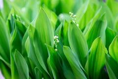Mughetti, fondo verde Fotografia Stock