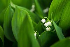 Mughetti, potere-giglio, natura, fiore selvaggio Fotografia Stock Libera da Diritti
