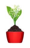 Mughetto in terra in vaso rosso isolato su bianco Fotografia Stock