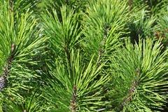 Mugho Pine Stock Image