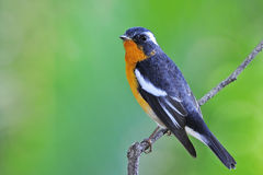 Mugimaki Flycatcher Stock Photos